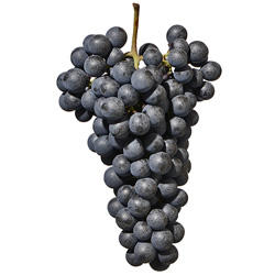 Lagrein grape